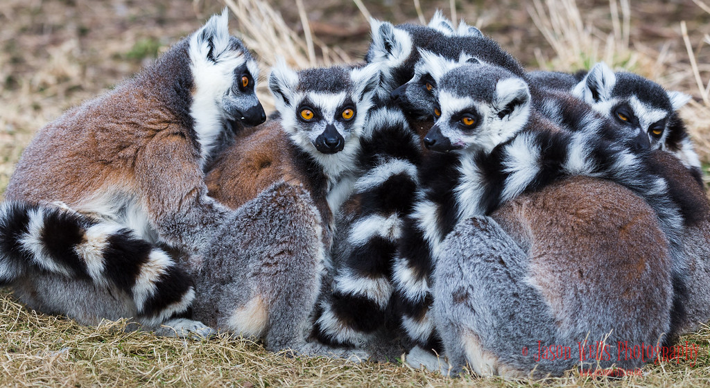 Ring-tailed lemurs huddled together.