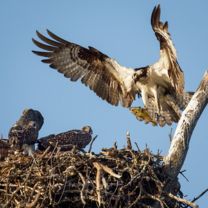 Breakfast for the Osprey Chicks