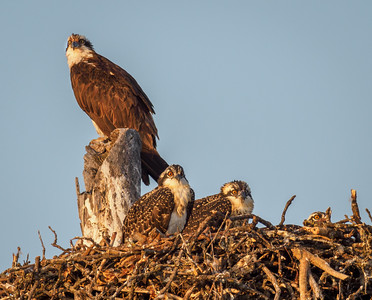 Osprey Family Portrait