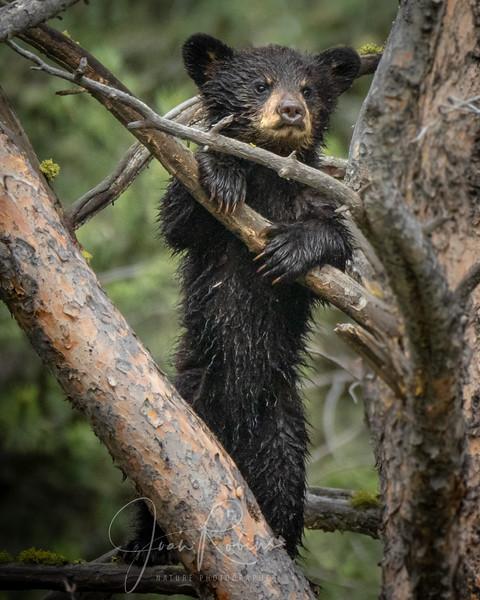 Black Bear Cub in Yellowstone