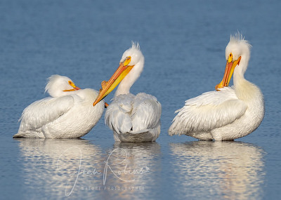White Pelicans, Thermalito Afterbay, CA
