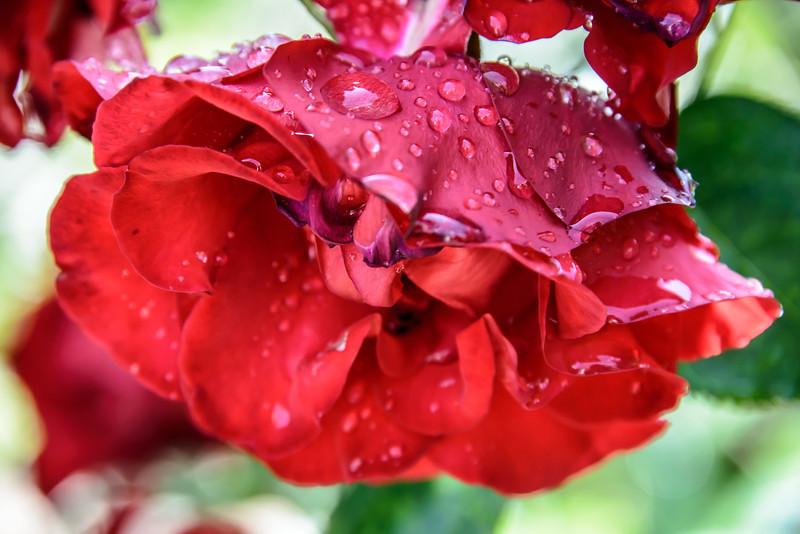 Rose Petal Drops