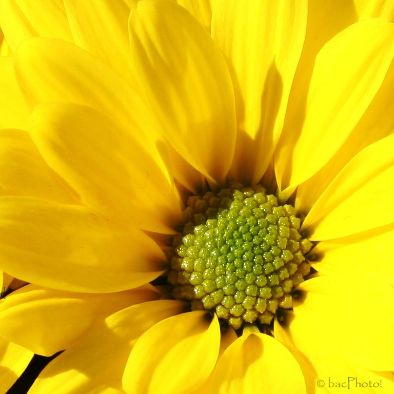 Yellow Daisy in Full Sun