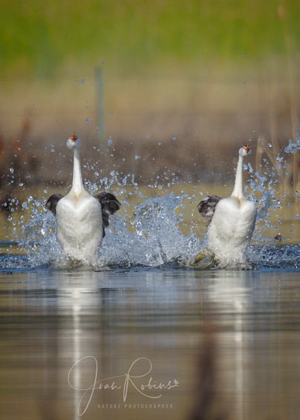 Clark's Grebes Dancing, Black Butte Lake, CA
