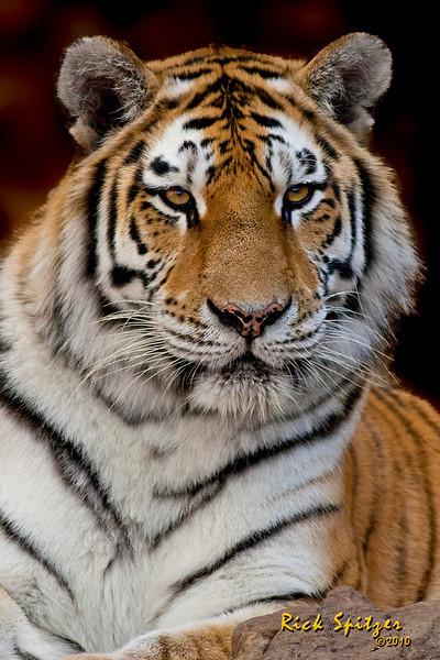 Tiger at the Denver Zoo
