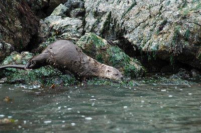 A river otter (no, not a sea otter) heads for the water after hunting for food along the rocky shore of Guemes Island.