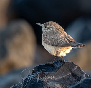 Rock Wren at Dawn