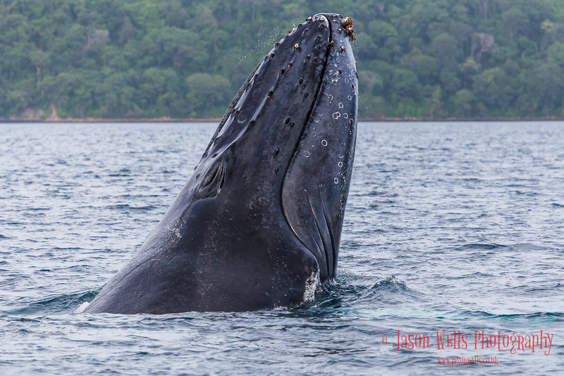 Close-up of a humpback whale breaching.