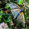 Cicadas-5917