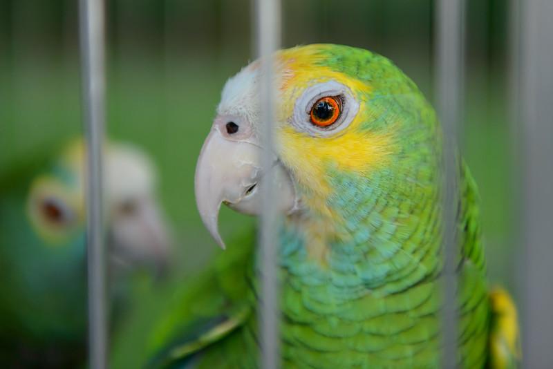 Pair of Parrots