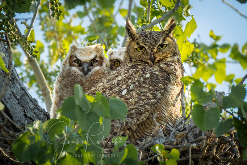 Great-horned Owl Family Glenn County