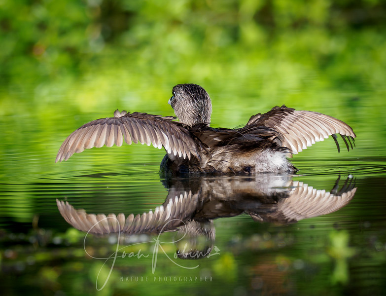 Pied-billed Grebe Reflections