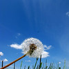 "Perspective of a dandelion against a the blue sky.<br /> ""Out of the grass"""