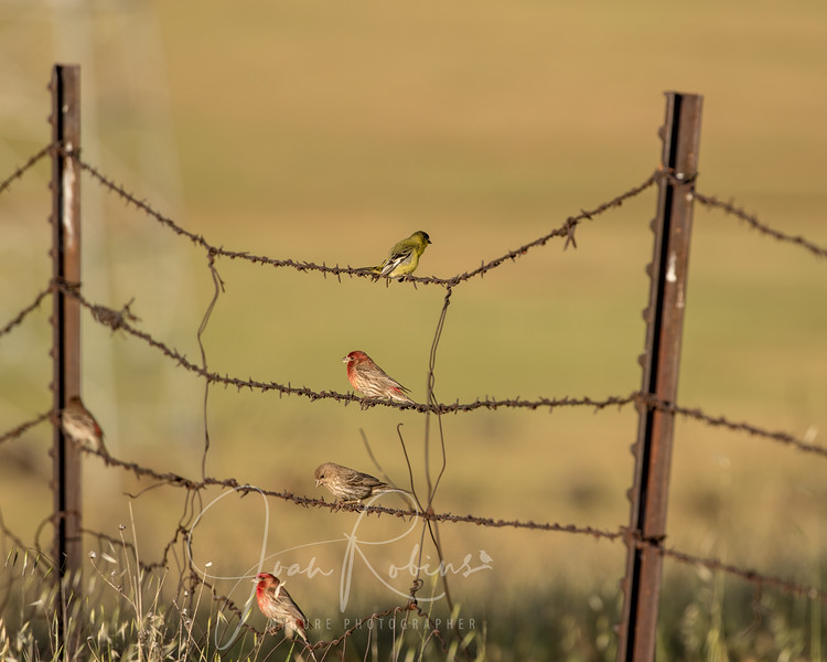 Finches on a Wire in Upper Bidwell Park