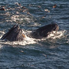 Pair of humpbacks feeding off Big Sur