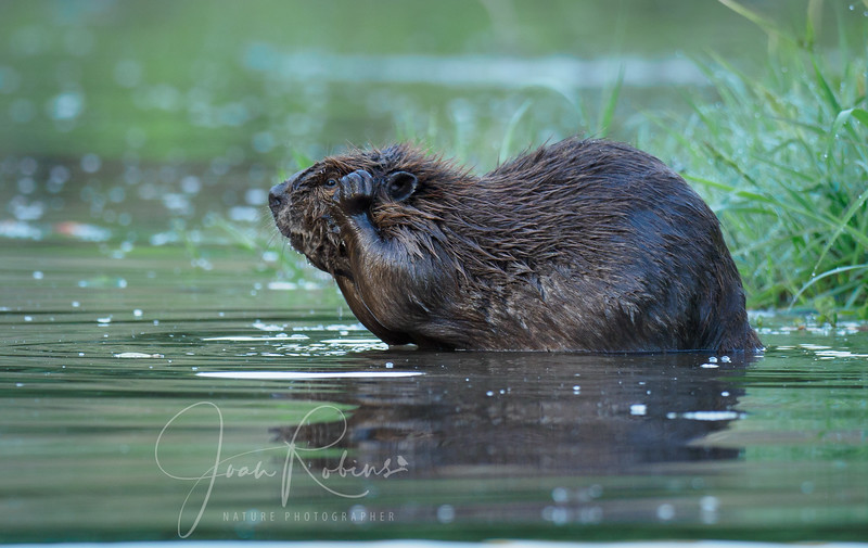 Beaver taking a bath on Big Chico Creek