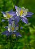 Colorado State Flower the Columbine