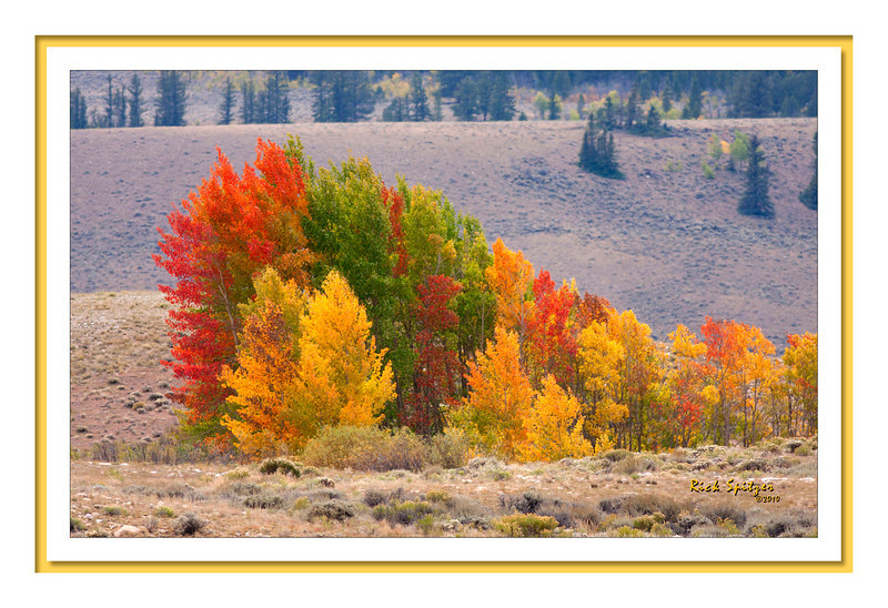 Every Color of Aspen in One Clump Near Westin Pass