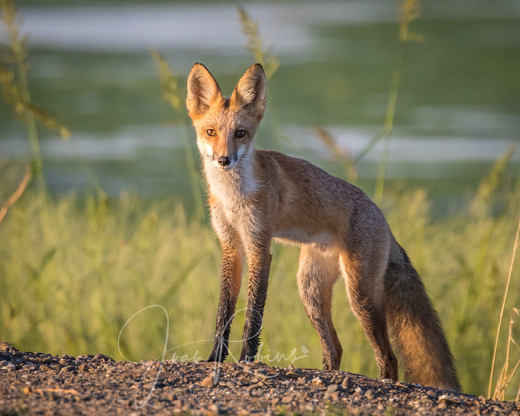Red Fox at the Oxidation Ponds in Chico CA