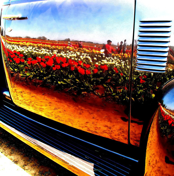 "Rows of tulips are reflected in a 1950's pickup truck at the Wooden Shoe Tulip festival near Woodburn, Oregon in late April.<br /> ""Reflections in metal"""