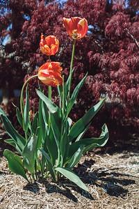 tulips-8092