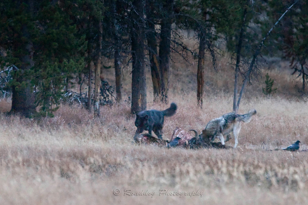 Wolves Feeding on Bison.<br /> <br /> Captured in near dark conditions at 3200 ISO