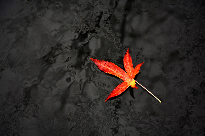 Red Leaf in the Rain