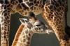 Giraffes - San Diego Zoo