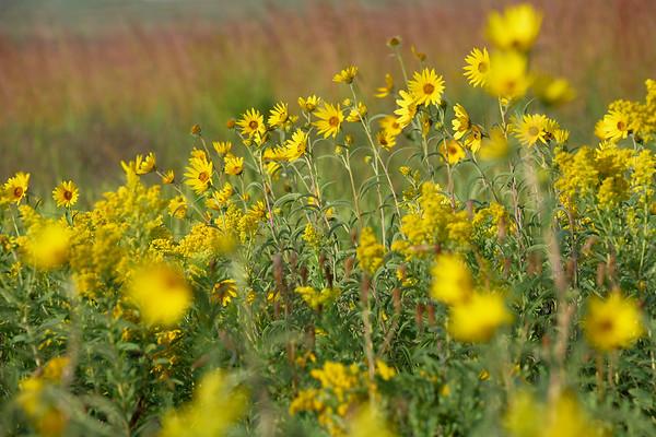 Sawtooth Sunflowers