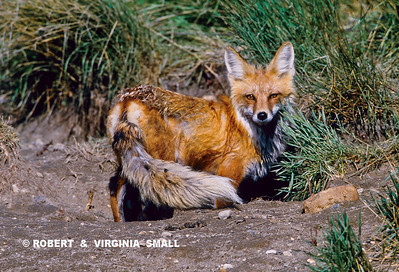 RED FOX VIXEN AT DEN