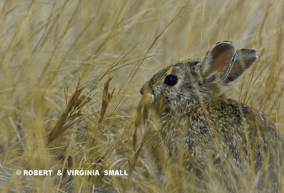 NUTTAL'S COTTONTAIL IN GRASSES