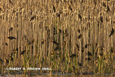 A FLOCK OF YELLOW-HEADED BLACKBIRDS IN A STAND OF CATTAILS