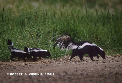 STRIPED SKUNK PARADING WITH HER TWO YOUNGSTERS