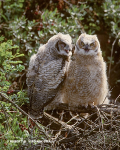 FLEDGED GREAT HORNED OWLETS