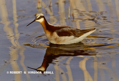 WILSON'S PHALAROPE SPINNING TO DRAW FOOD TO THE SURFACE OF THE WATER