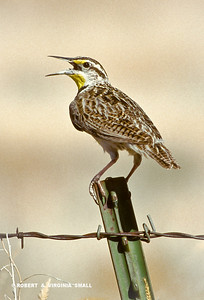 EASTERN MEADOWLARK  GREETING THE DAY WITH A SONG