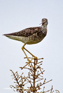 YELLOWLEGS ON A TREETOP