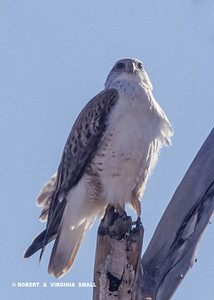 REGAL AND INTIMIDATING, A FERRIGINOUS HAWK ON THE LOOKOUT FOR . . . PREY?!!