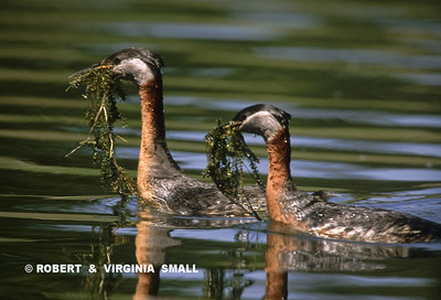 RED-NECKED GREBES WITH NESTING MATERIAL