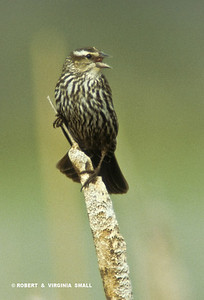 FEMALE RED-WINGED BLACKBIRD CALLING