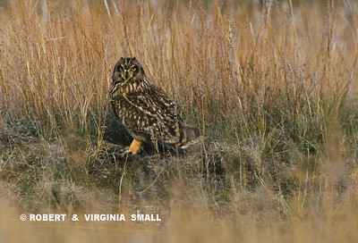 SHORT-EARED OWL IN PRAIRIE GRASS