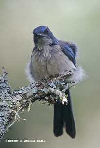 WESTERN SCRUB JAY  ON LICHEN-COVERED BRANCH
