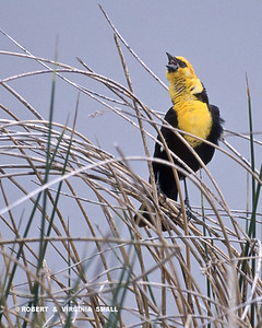 YELLOW-HEADED BLACKBIRD CALLING