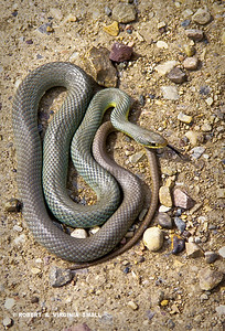 EASTERN YELLOW-BELLIED BLUE RACER
