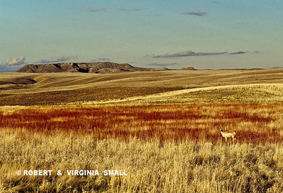PRAIRIE COLOR WITH PRONGHORN