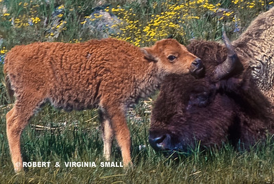 BISON AND SPRING CALF