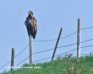 GOLDEN EAGLE ON A PRAIRIE FENCEPOST