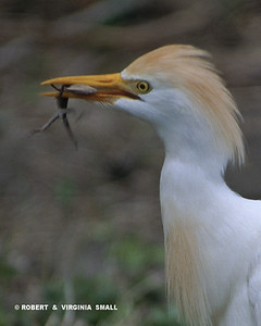 CATTLE EGRET WITH A LIZARD