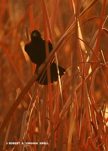 RED-WINGED BLACKBIRD GREETING DAYBREAK