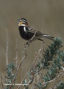 CHESTNUT-COLLARED LONGSPUR SINGING